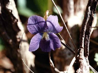 Flower/Violet